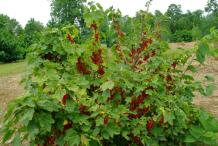 Redcurrant-plant