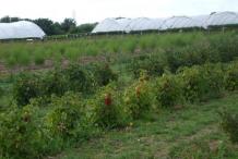 Redcurrant-farming