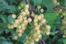 Unripe-Redcurrant