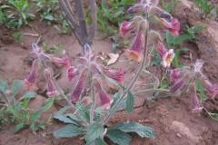 Rehmannia-plant