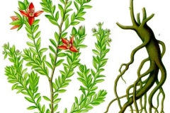 Plant-Illustration-of-Rhatany