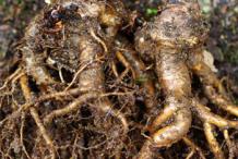 Fresh-Rhodiola-roots
