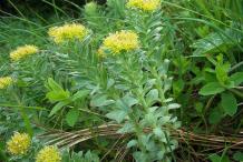 Rhodiola-Bushes
