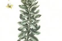 Rhodiola-plant-illusration
