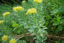 Rhodiola-Bushes