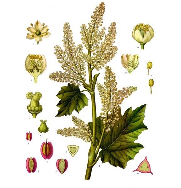 Rhubarb-plant-illustration