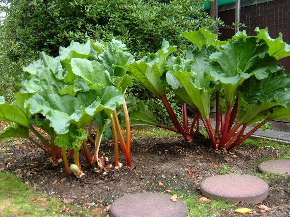 Rhubarb-plant