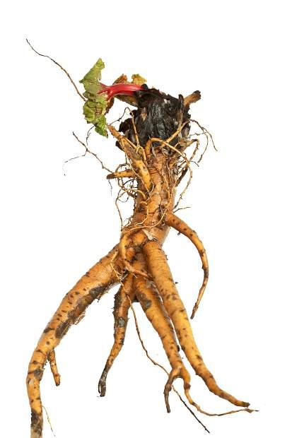 Rhubarb-root