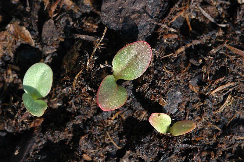 Rhubarb-seedlings