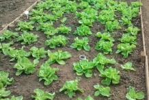 Rhubarb-farm