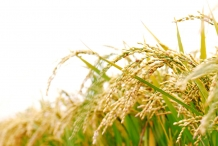 Rice-bran-3