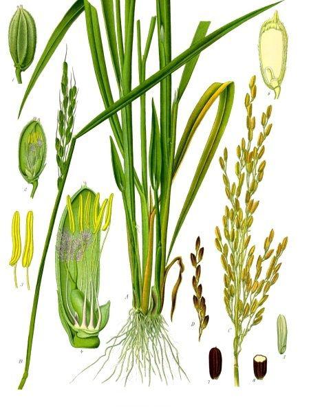 Illustration-of-Rice-plant