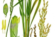 Illustration-of-Rice-plant