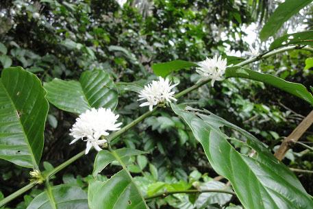 Flower-of-Robusta-Coffee
