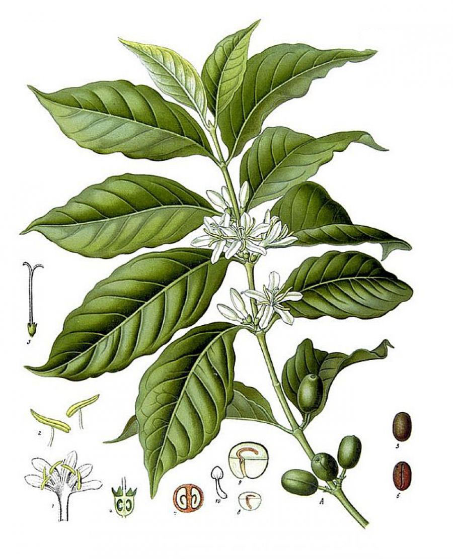 Plant-Illustration-of-Robusta-Coffee
