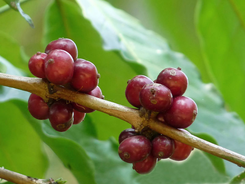 Ripe-berries-of-Robusta-Coffee