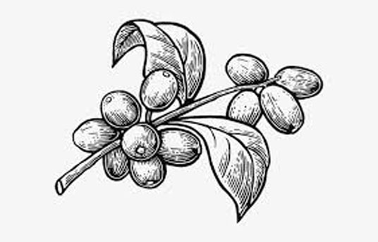 Sketch-of-Robusta-Coffee