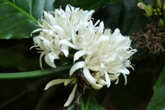 Closer-view-of-flower-of-Robusta-Coffee-
