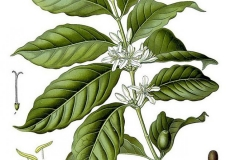 Plant-Illustration-of-Robusta-Coffee