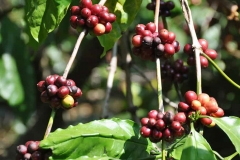 Robusta-coffee-plants-with-ripe-fruit