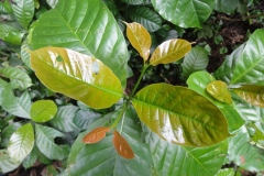 Young-leaves-of-Robusta-Coffee