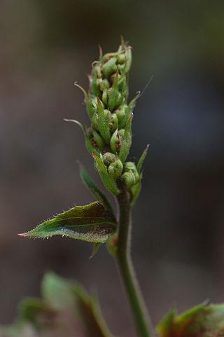 Flowering-Stalk-of-Rock-Geranium