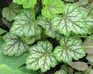 Leaves-of-Rock-Geranium