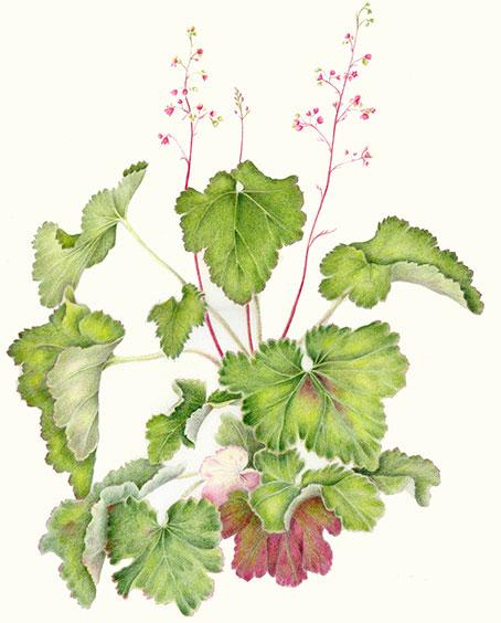 Plant-illustration-of-Rock-Geranium