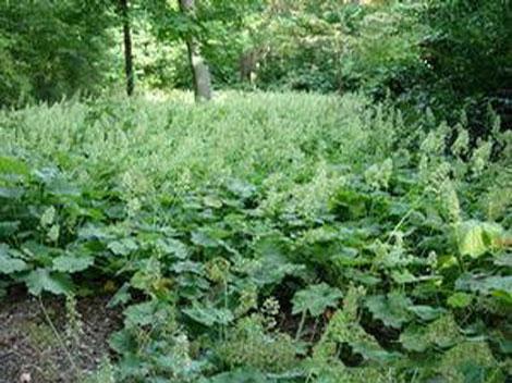Rock-Geranium-plant-growing-wild