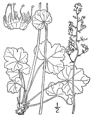Sketch-of-Rock-Geranium