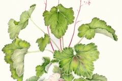 Plant-illustration-of-Rock-Geranium