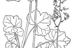 Sketch-of-Rock-Geranium