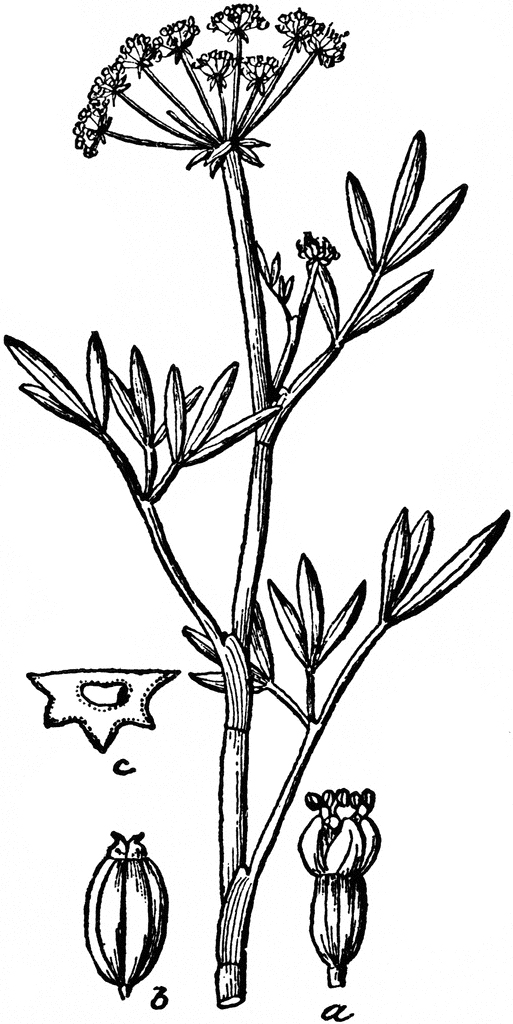 Sketch-of--Rock-Samphire