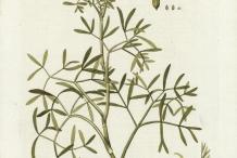 Plant-Illustration-of--Rock-Samphire