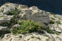 Rock-Samphire-Plant-growing-on-cliff