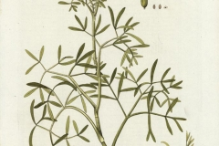 Plant-Illustration-of--Rock-Samphire