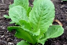 Romaine-lettuce-plant
