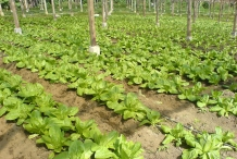 Romaine-lettuce-farm