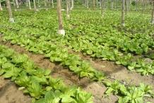 Romaine-lettuce-farm