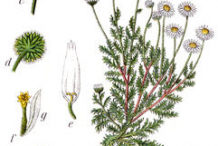 Roman-Chamomile-plant-Illustration
