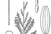 Roman-Chamomile-plant-Sketch