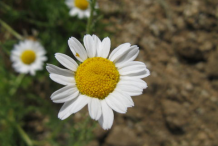 Flower-of-Roman-Chamomile