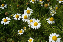Roman-Chamomile-Plant