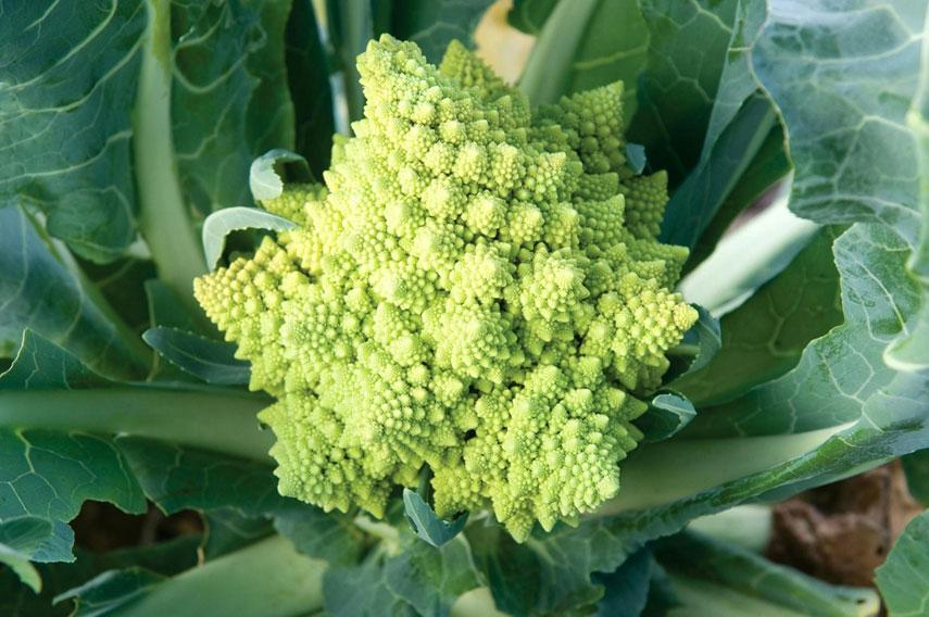 Romanesco-broccoli-on-the-plant