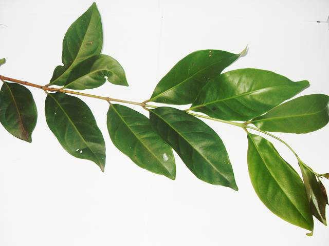 Leaves-of-Rose-apple