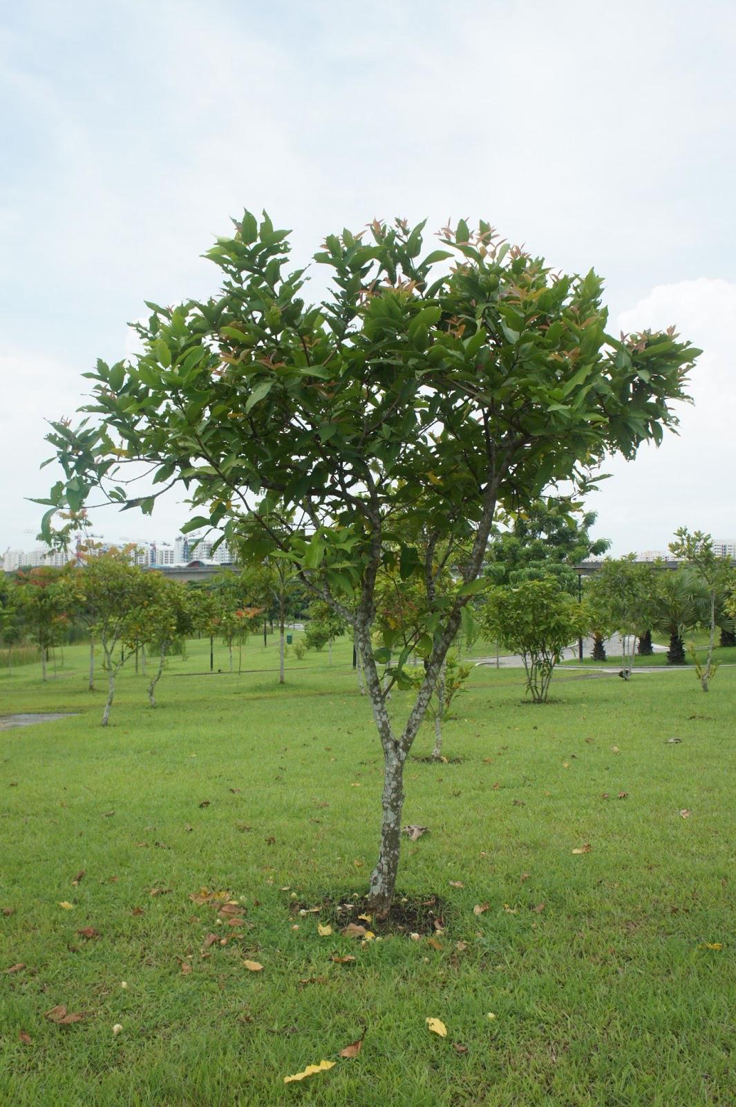 Rose-apple-tree