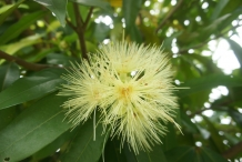 Close-up-flower-of-Rambutan