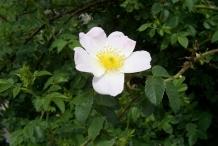 Close-up-flower-of-Rose-hip