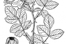 Rose-hip-drawing