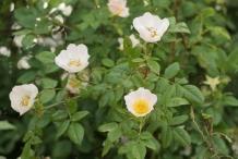 Rose-hip-flowers